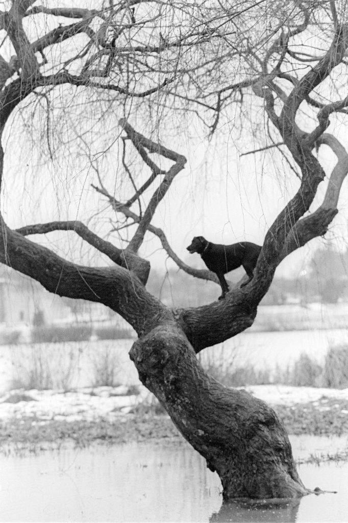 Tree dog, Vancouver 1997